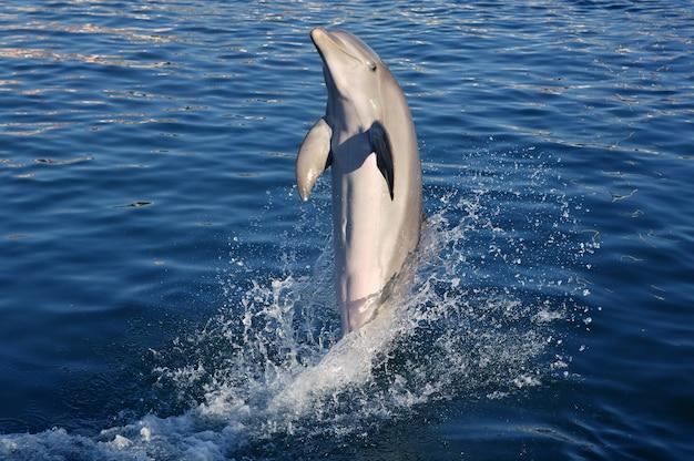 Dolfijn doet acrobatiek Premium Foto
