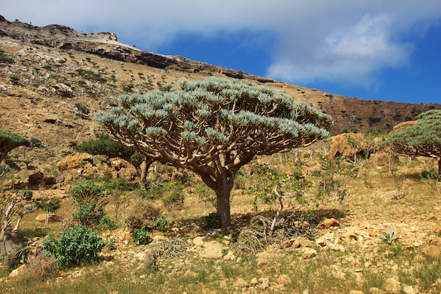 Draakboom, bloedboom op homhil-plateau, socotra-eiland, indische oceaan, yemen Premium Foto