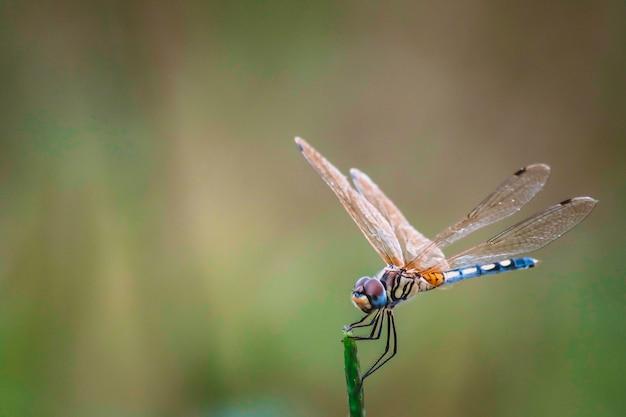 Dragonfly houd op droge takken en kopieer de ruimte. dragonfly in de natuur. libel in de natuurhabitat. prachtige natuur scène met dragonfly buiten Premium Foto