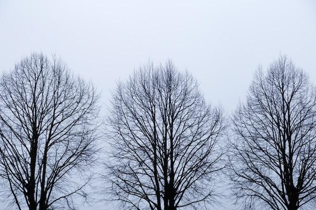 Drie bomen zonder bladeren tegen hemel. silhouet van bomen met naakte takken op witte achtergrond. droevige herfsttijd. Premium Foto