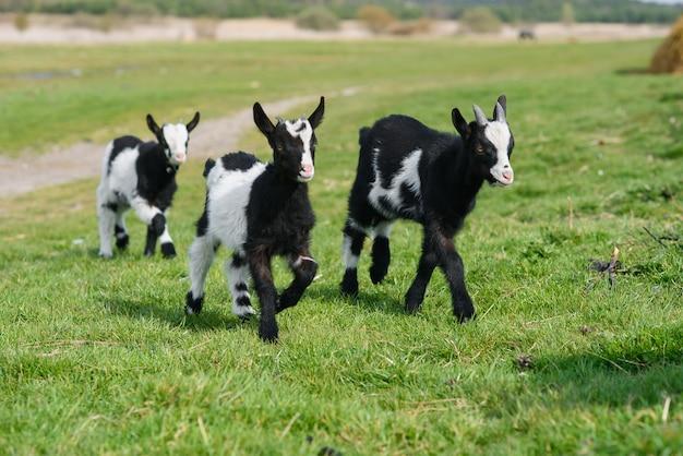 Drie geitjonge geitjes die op weide weiden Premium Foto