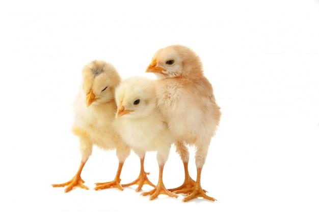 Drie kleine kuikens voor witte achtergrond. Premium Foto