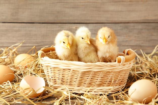 Drie kuikens in een mand op grijze achtergrond Premium Foto
