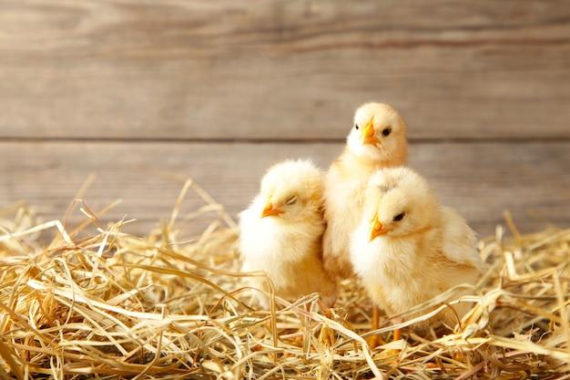 Drie kuikens in een rietje op grijze achtergrond Premium Foto
