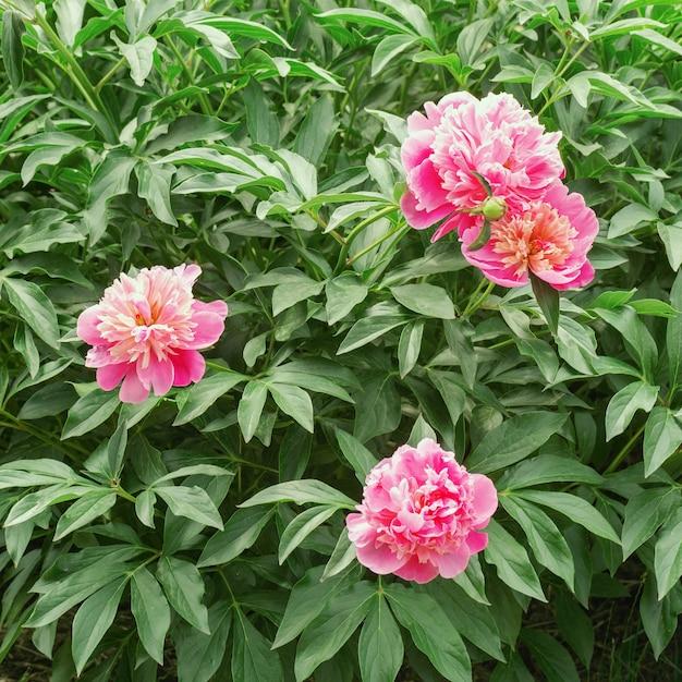 Drie roze pioenbloemen op struik in tuin Premium Foto