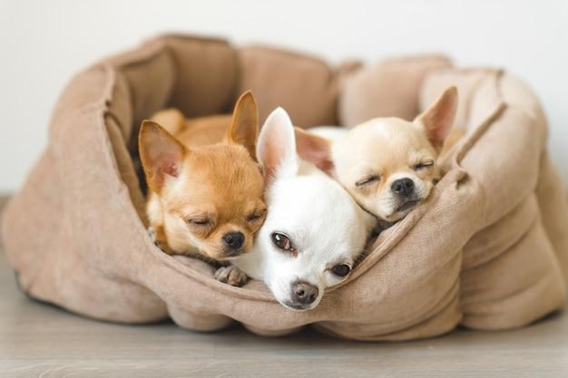 Drie schattige chihuahua puppies liggend in kleine hondenhok op de vloer. Premium Foto