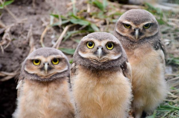 Drie uilkuikens in het nest Premium Foto