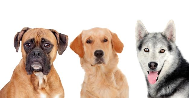 Drie verschillende volwassen honden Premium Foto