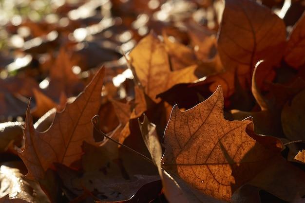 Droge gevallen esdoornbladeren, close-up Gratis Foto