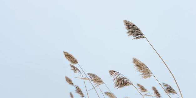 Droog grasriet op meer, tegen blauwe hemel. milieu, gemoedsrust weg van stadslawaai. Premium Foto