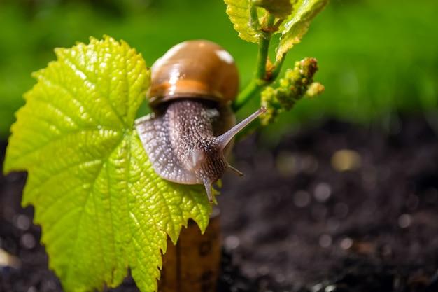Druivenslak die op een jonge spruit van druiven kruipen Premium Foto