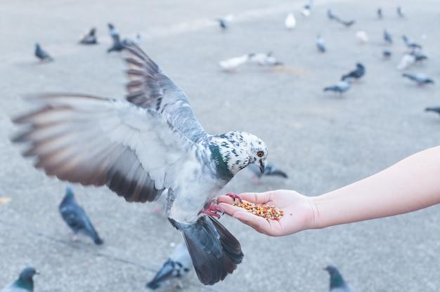 Duif eten uit de hand van de vrouw op het park, duiven voederen in het park op het moment van de dag Premium Foto