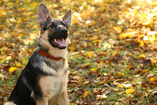 Duitse herder in het de herfstpark. hond in het bos Premium Foto