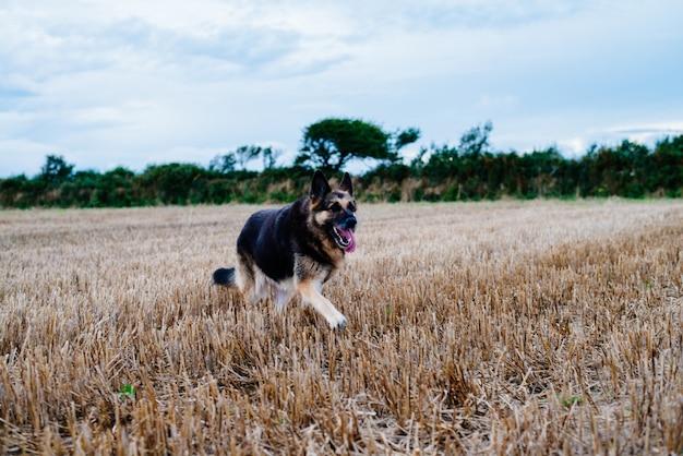 Duitse herdershond die overdag in een grasrijk gebied loopt Gratis Foto