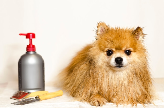 Duitse spitz verzorging. shampoo, conditioner voor langharige honden. pomeranian spitz wassen. Premium Foto