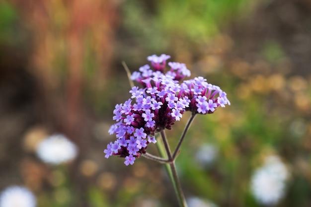 Duizendblad groeit in de tuin medicinale plant. Premium Foto