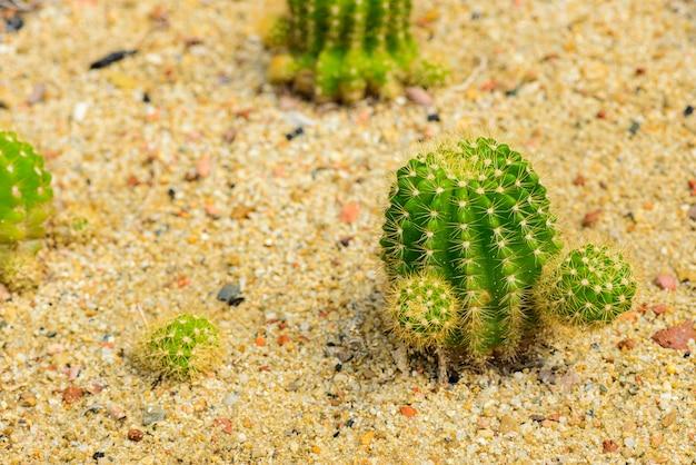 Echinocactus grusonii of goed bekend in golden barrel cactus, golden ball Premium Foto