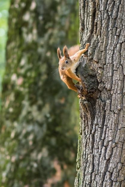 Eekhoorn op een boom in het park Premium Foto