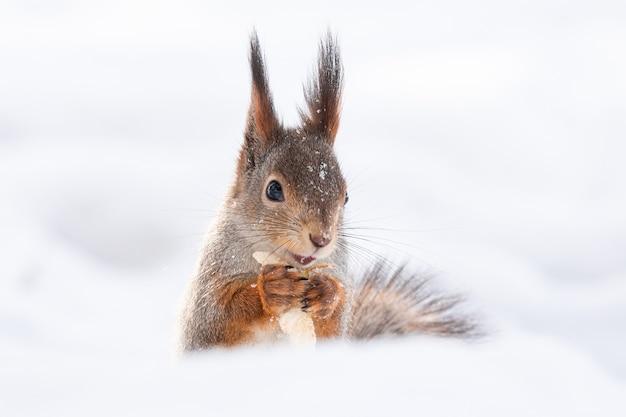 Eekhoorn sneeuw winter Premium Foto
