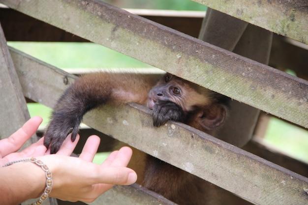 Een aap in een kooi die de hand van een meisje aanraakt in de jungle van puerto maldonado. peru Premium Foto
