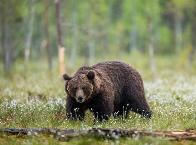 Een beer op de bosachtergrond tussen witte bloemen Premium Foto