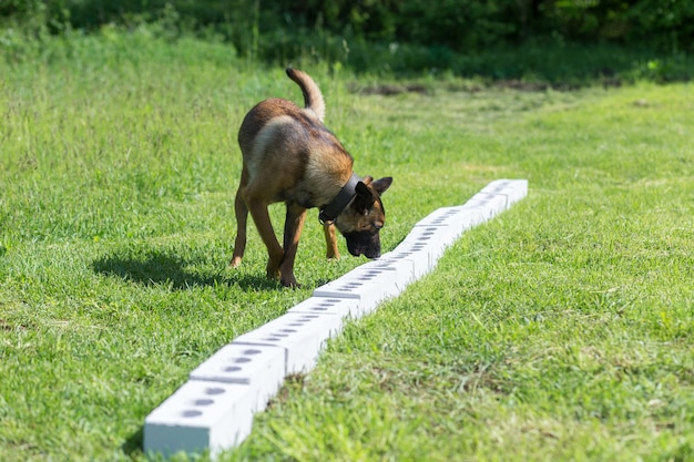 Een bengaalse herdershond snuift een rij baksteen op zoek naar een met een verborgen voorwerp. opleiding om hulphonden op te leiden voor politie, douane of grensdienst. Premium Foto