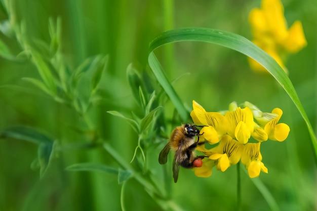 Een bij die nectar van bloem verzamelt. natuurlijke groene achtergrond Premium Foto