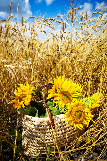 Een boeket zonnebloemen ligt in een strozak op een groot tarweveld. Premium Foto
