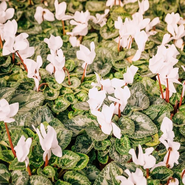 Een bovenaanzicht van verse witte bloemen met groene bladeren Gratis Foto