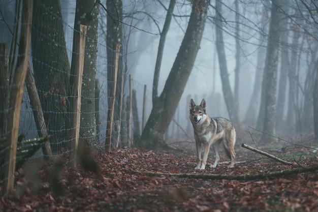 Een boze bruine en witte wolfhond in het midden van rode bladeren dichtbij een netelige omheining in een bos Gratis Foto