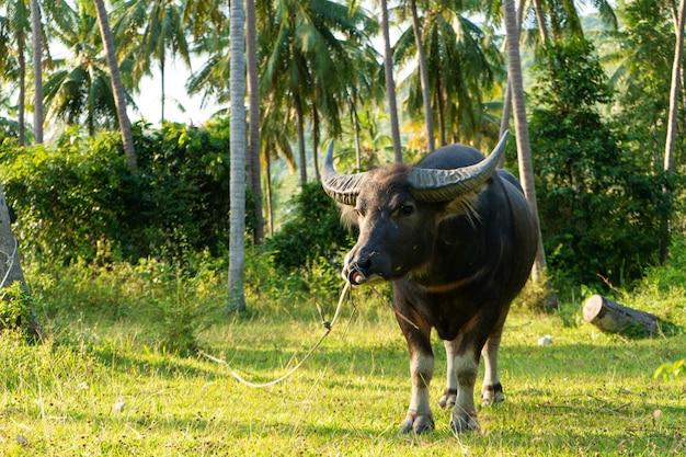 Een buffel met grote hoorns graast op het gazon in een groene tropische jungle. Premium Foto