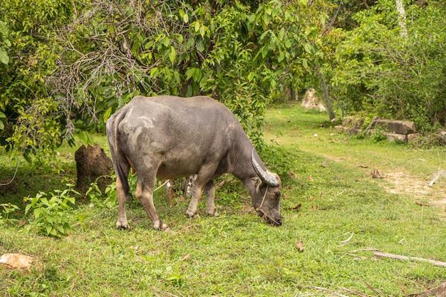Een buffel met grote hoorns graast op het gazon in een groene tropische jungle Premium Foto