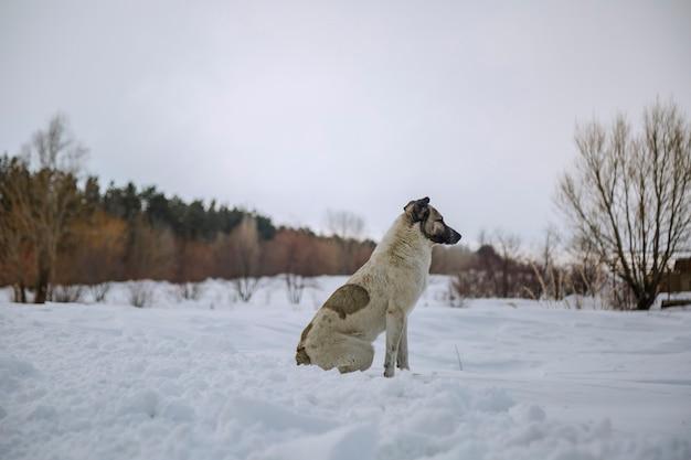 Een dakloze hond die in de winter op sneeuw zit en naar iets kijkt Premium Foto