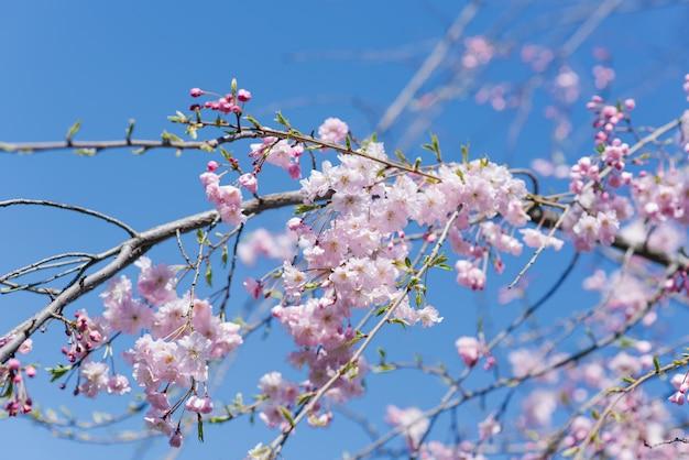 Een elegante mooie tak van decoratieve kersenbomen met bloemen tegen de blauwe hemel. Premium Foto