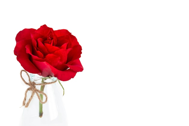 Een enkele bloeiende rode roos Premium Foto