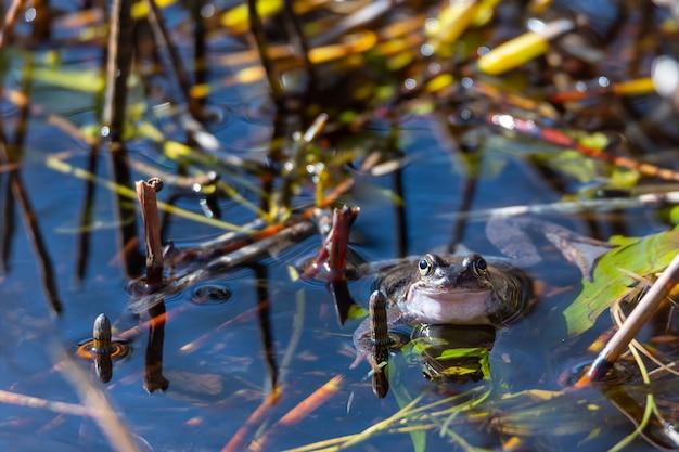 Een gewone kikker ligt in het water in een vijver tijdens de paartijd in de lente. Gratis Foto