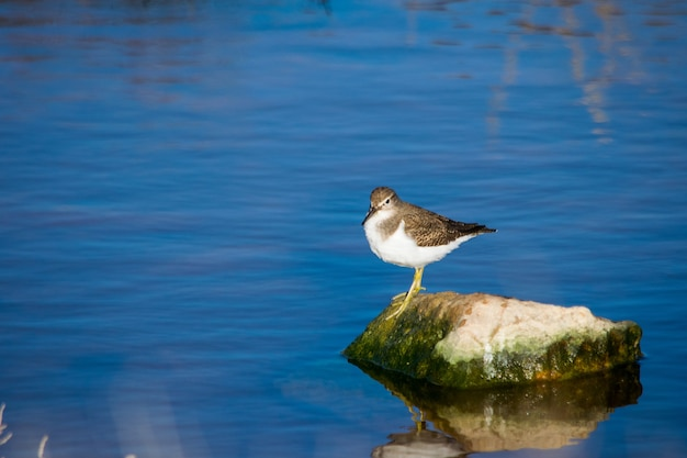 Een gewone strandloper vogel, lange snavel bruin en wit, rustend op een rots in brak water in malta Gratis Foto