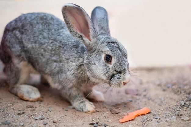Een grijs konijn dat wortel van menselijke hand in de tuin eet. Premium Foto