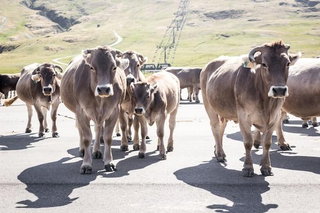 Een groep bruine koeien die een weg in de bergen kruisen Premium Foto