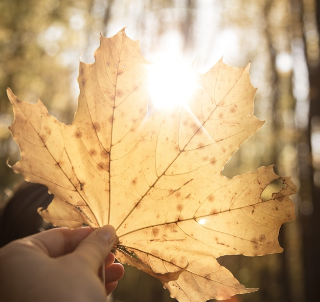 Een groot geel herfstblad in de handen van een vrouw. Gratis Foto
