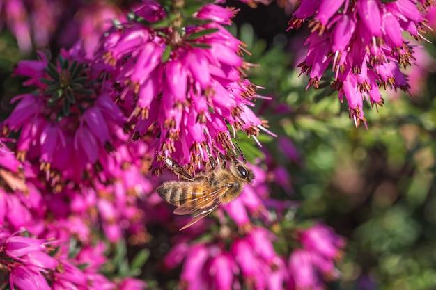 Een hommel die nectar verzamelt op prachtige paarse bloemen uit de kattenstaart en granaatappelfamilie Gratis Foto