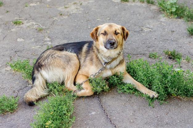 Een hond aan de ketting in de tuin van de boerderij voor de bescherming van het grondgebied Premium Foto