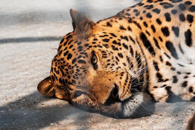 Een jaguar ligt op de grond in een metalen kooi in de dierentuin Premium Foto