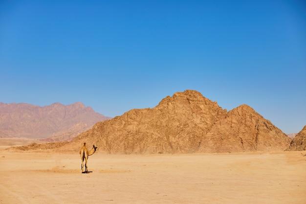 Eén kameel verblijf op een woestijnland met blauwe lucht aan de. Premium Foto