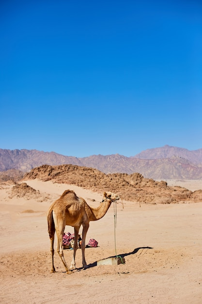 Eén kameel verblijf op een woestijnland met blauwe lucht op de achtergrond. Premium Foto