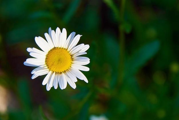 Een kamille bloem close-up Premium Foto