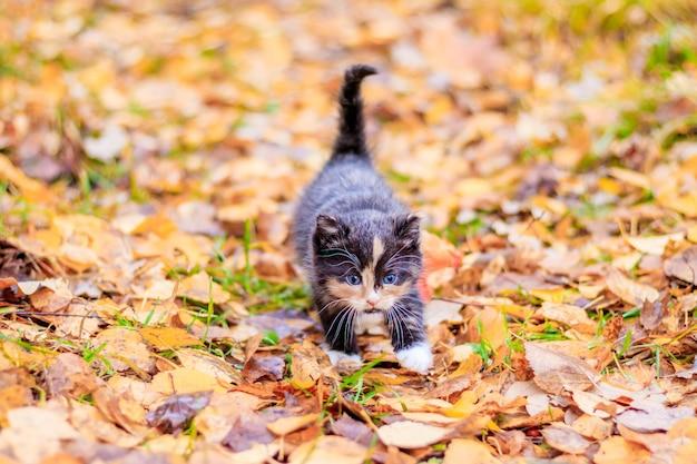 Een klein katje op het pad met bladeren. kitten op een wandeling in de herfst. huisdier. Premium Foto