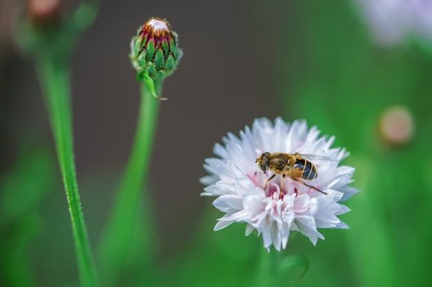 Een kleine bij verzamelt nectar van een witte bloem op een zonnige dag in de zomer. Premium Foto