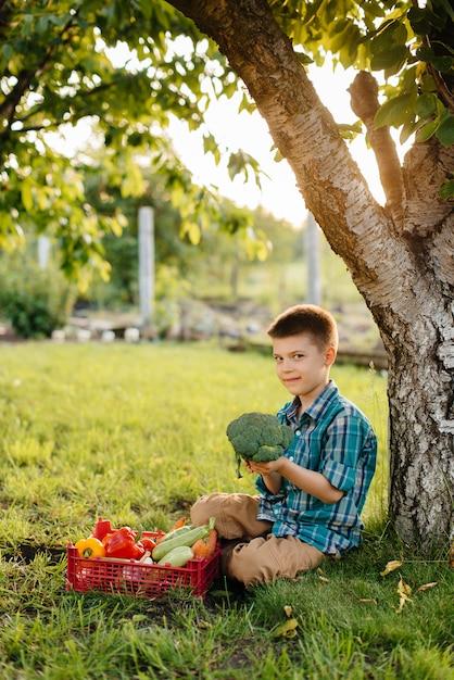 Een kleine jongen zit bij zonsondergang onder een boom in de tuin met een hele doos rijpe groenten. landbouw, oogsten. milieuvriendelijk product. Premium Foto