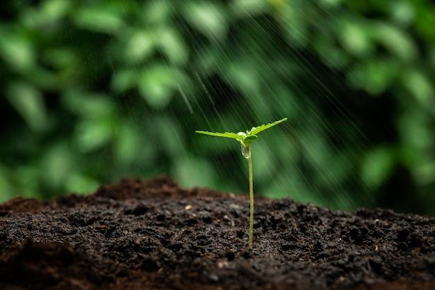 Een kleine plant van cannabis zaailingen in het stadium van vegetatie geplant in de grond in de zon, een prachtige achtergrond, ecepties van teelt in een indoor marihuana voor medische doeleinden Premium Foto
